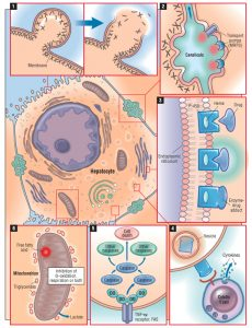 Liver-Cells-and-Action-Diagrams